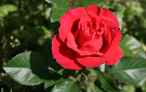 После лилейного периода начался период роз и пионов