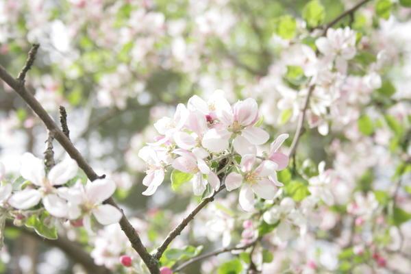 Яблоня в цвету. Смотрю каждый раз и наслаждаюсь красотой.