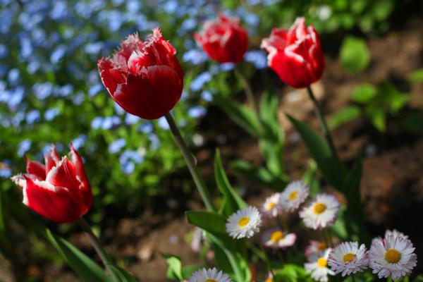 Анютины глазки не только неприхотливые, но и очень красивые цветы. Судя по тому, как активно они разрастаются, под яблоней им очень даже ничего. С ними бок о бок тюльпаны, весенняя радость.