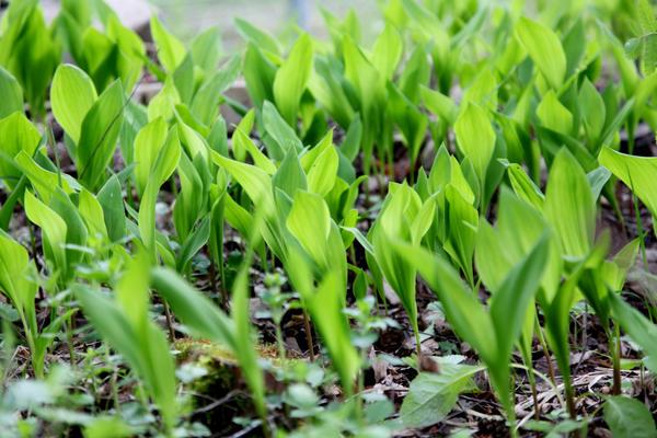 Ландыши ждали тепла и  только потом показались. А вот цвести будут ближе к середине июня.
