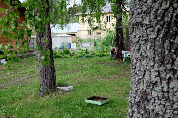 двор, березы, сосна и сад на заднем плане