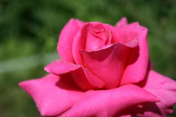 Розу как ни сфотографируй, она всегда перкрасна