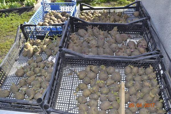 проращиваю семенной картофель.