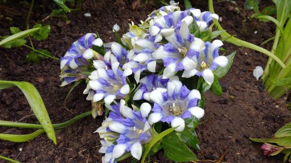 Садовое растение, сказали, что многолетние...как называется - незнают((( Подскажите пожалуйста!