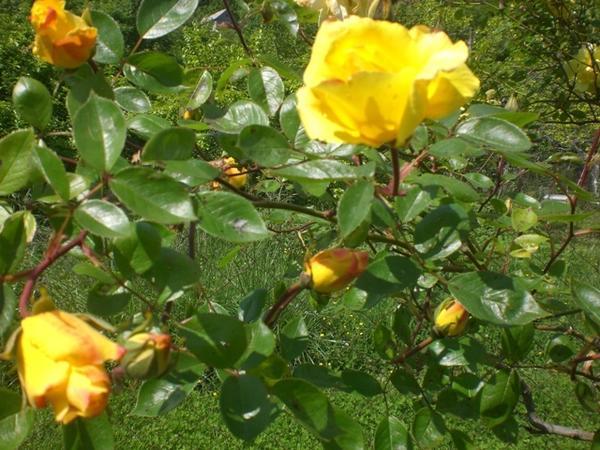 Майск роза
