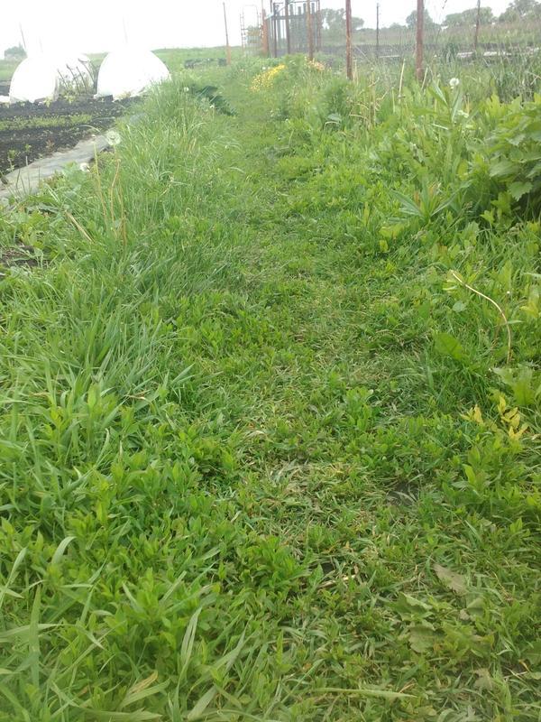 Это тропинка к огороду и часть огорода в ограде. К сожалению много одуванчика, семена разлетаются по всему огороду. Это если вовремя не покосить))