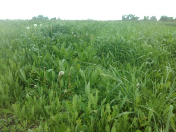 Трава на огороде. Это то что растёт на 28 сотках. Моя будущая мульча))