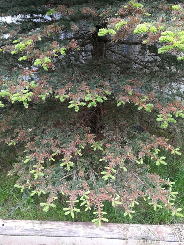 Елка, их две рядом, разные породы, у одной вот так, причем верхняя часть дерева , половина наверное, все зеленом,  у другой начинает со стороны этой ели, с др тоже есть но пока еле видно, не ярко