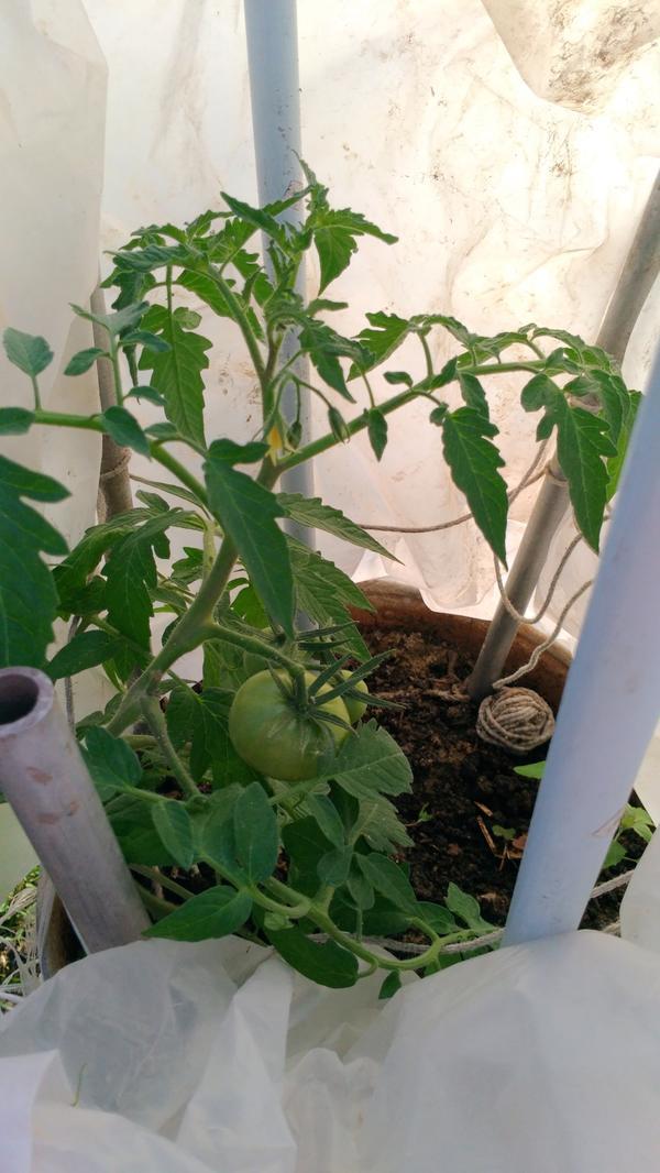 А это моя Малиновая империя в бочке.Она была помещена уже с маленькими помидорчиками.