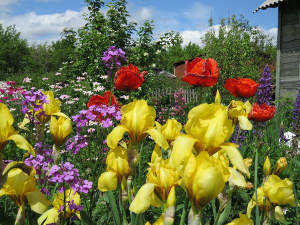 Это тебе мой дачный привет. Не смотря на все эти штормовые предупреждения, резкие перепады температур - всё равно всё растёт и цветёт. Но пасаран!!!