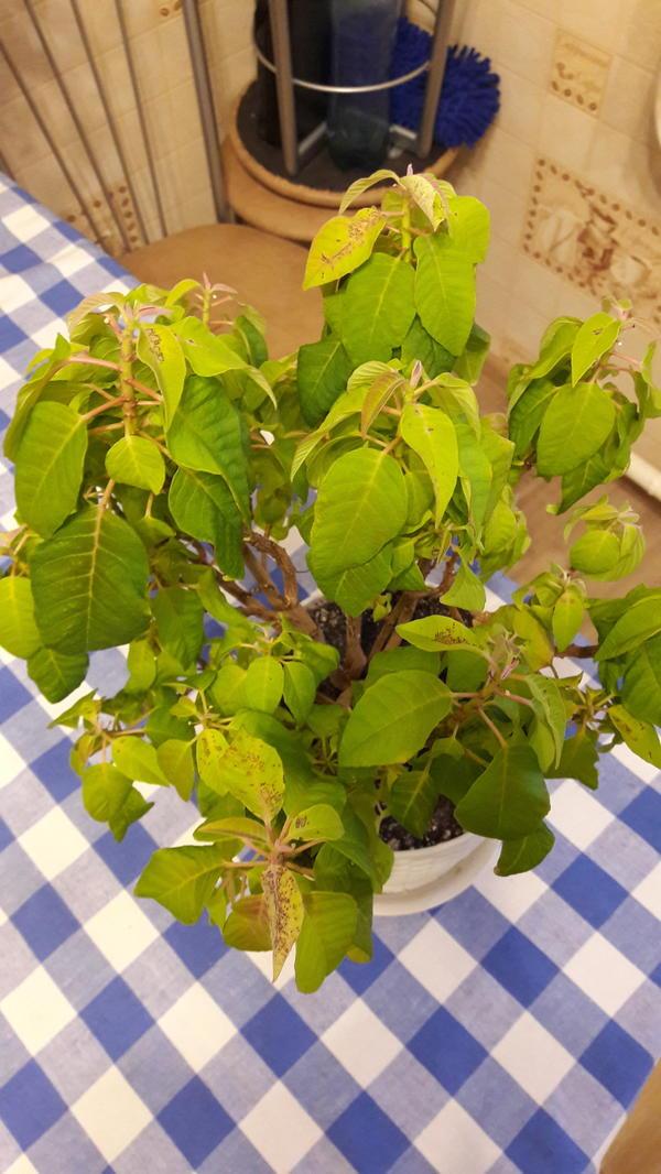 Пятна на листьях, листья бледно-зеленые