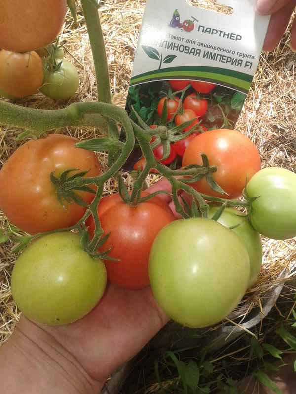 гроздь из 10 томатиков: одну самую первую уже сорвали, 7 наливаются, ещё две маленькие завязались