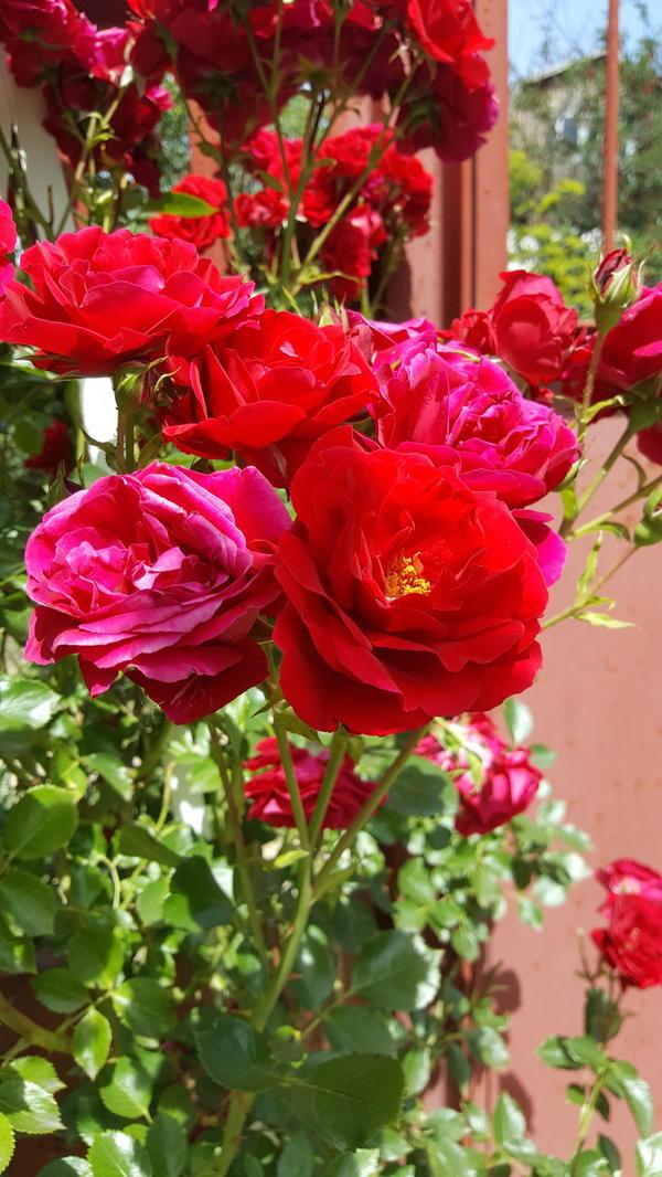 "Красная плетистая роза ""Симпати""."