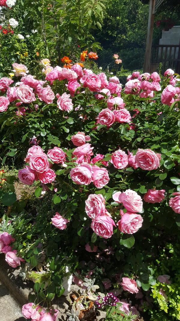 """Романтическая Роза """"Леонардо да Винчи"""" была посажена в 2008г. Очень активная, обильно-цветущая. Огромный куст, весь усыпанный цветами.За последние годы в рост дала 15 побегов.Цветет 2-3 раза в год, в зависимости от температуры. Очень ароматная."""