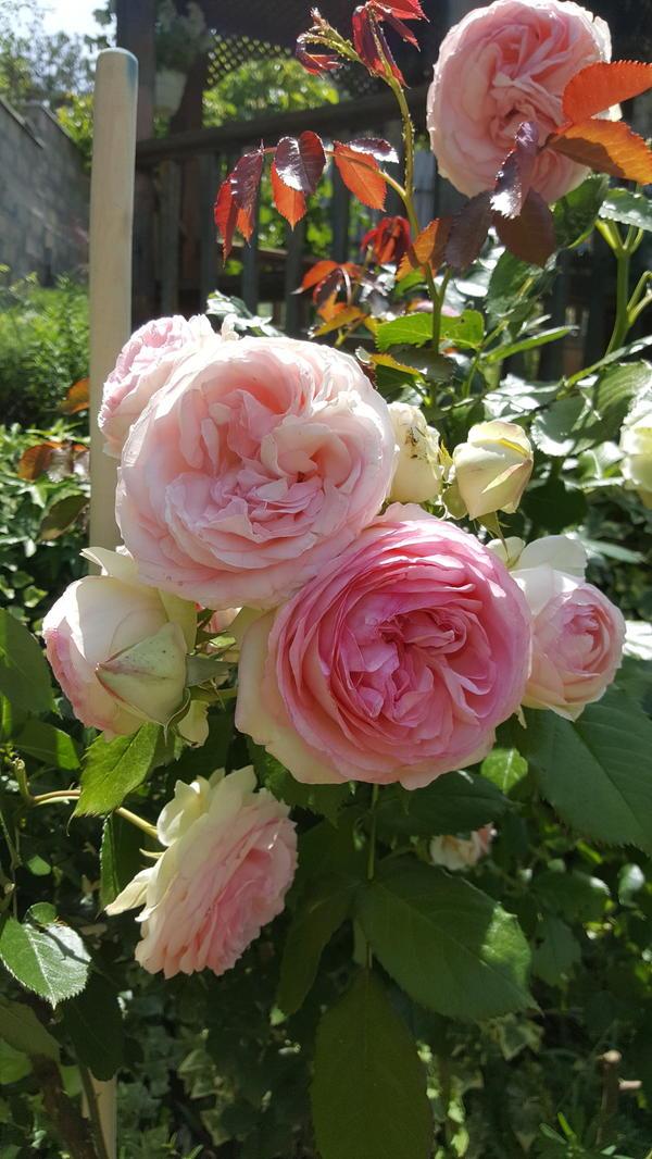 """Роза Дэвида Остина """"Эден Розе"""". Рослая, обильноцветущая, крупные цветки (в зеленой чашечке бело-розовые лепестки."""