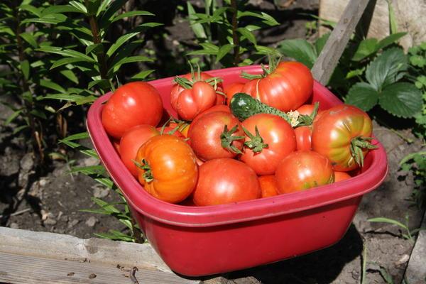 помидоры средних сроков созревания - урожай из теплицы начала июля