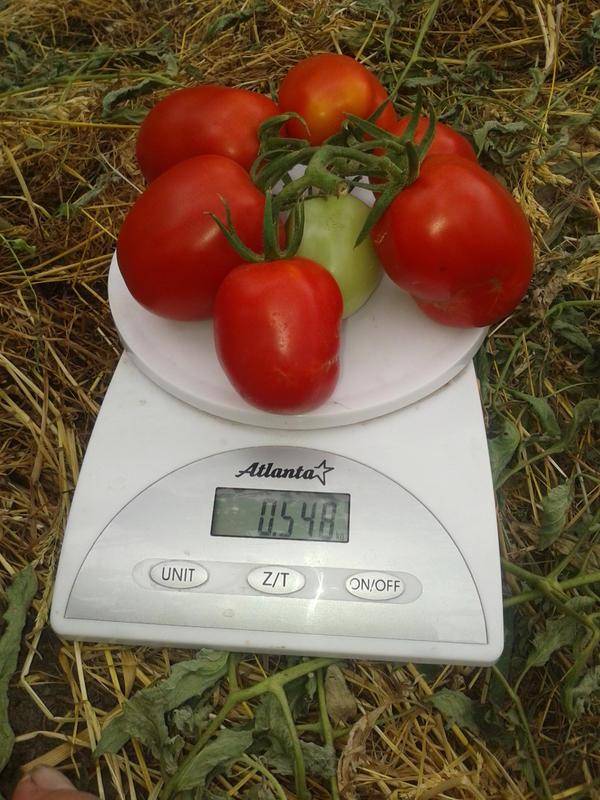 кисточка больше полутора кг, отличная урожайность, если до самого верха будут так же завязываться