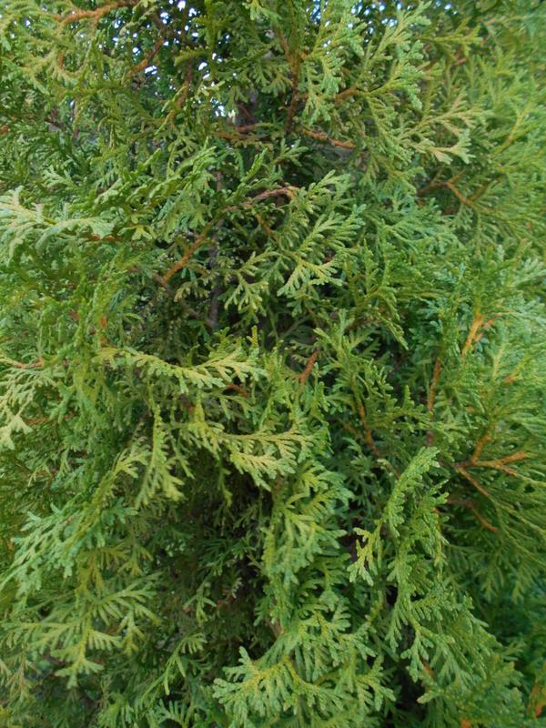 Само деревце зелёненькое,а кора лопнула по всему стволу