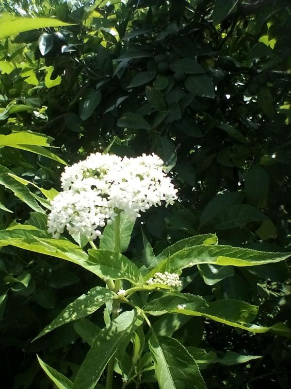 Растение высотой 1,5м, диаметр соцветия 25-30см.