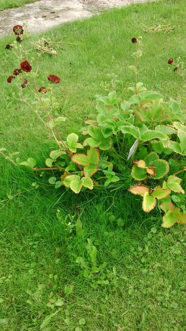 листики похожи на земляничные  листики, цветет маленькими розочками.