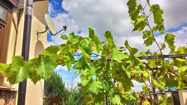 на винограде несколько были боьные, они засохли, новые без признаков хвори