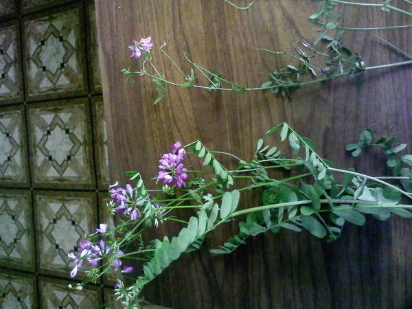 цветки похожи а листья разные