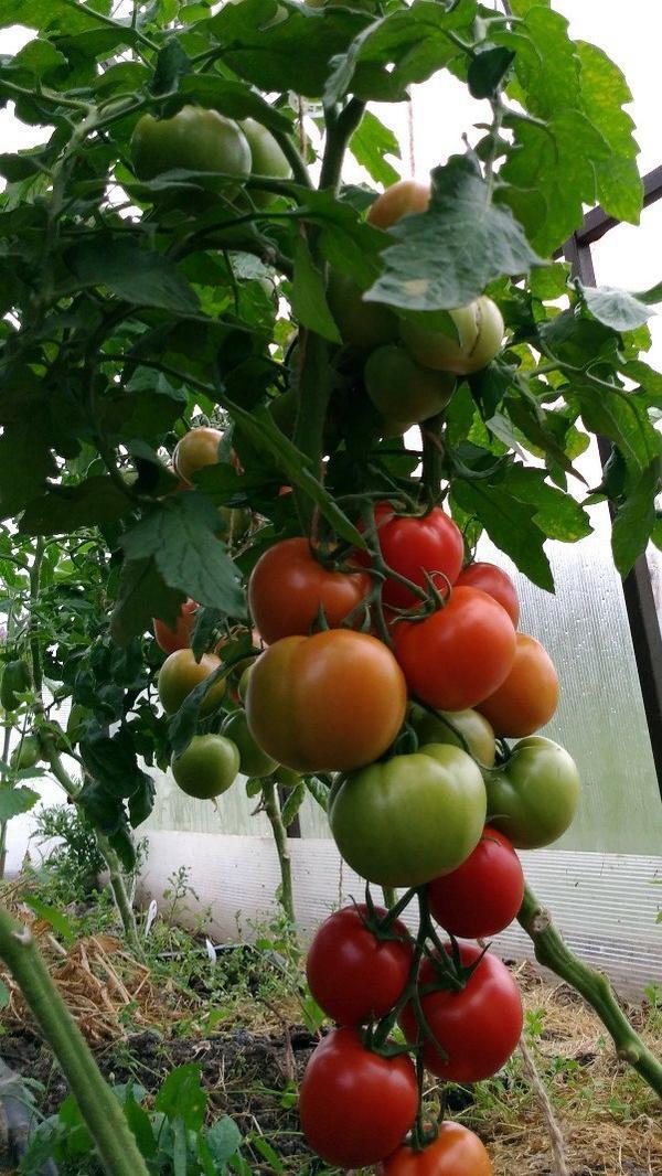 Здравствуйте всем.Продллжаю взвешивать помидорчики с Любаши N1.Решила взвешивать россыпью,а не кистью.Фото сделано 22 июля.