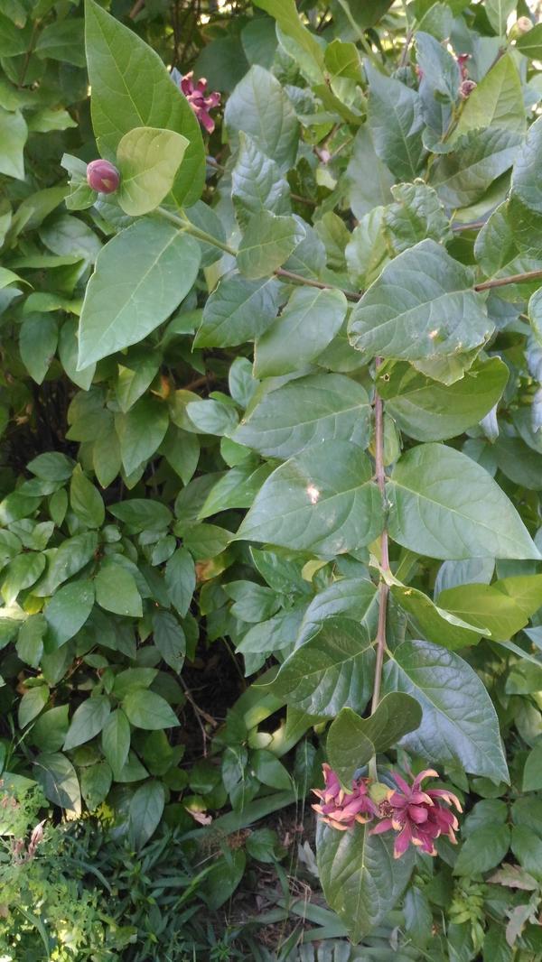 листья плотные, чуть жестковатые. Цветы тоже жесткие.