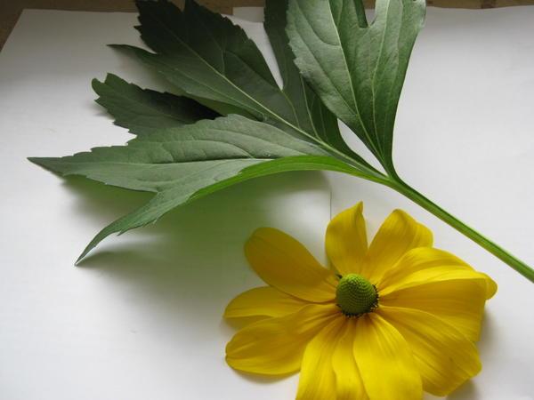 Лист и цветок