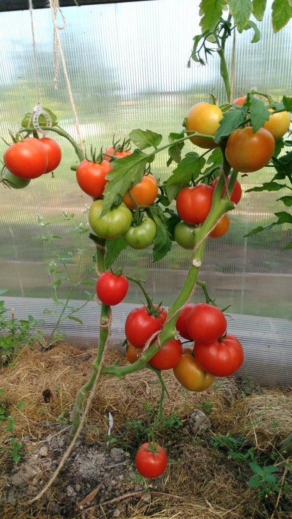 Здравствуйте всем.Созрели еще 8 помидорчиков на моей Любаше.Пора на весы!