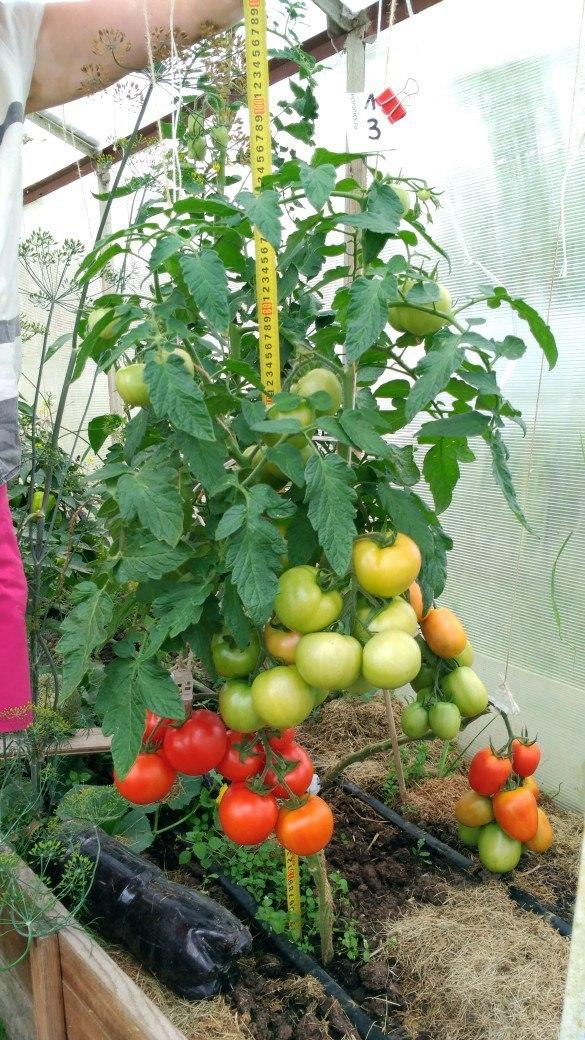 Это Любаша N3.Она сидит в другой теплице, на теплой грядке.Справа видна первая кисть Великосвеиского, скоро созреет.Не будем пока на нее отвлекаться,настанет и ее черед. С этой Любаши сниму 5 штук,хотя один помидор больше похож на ягоду.