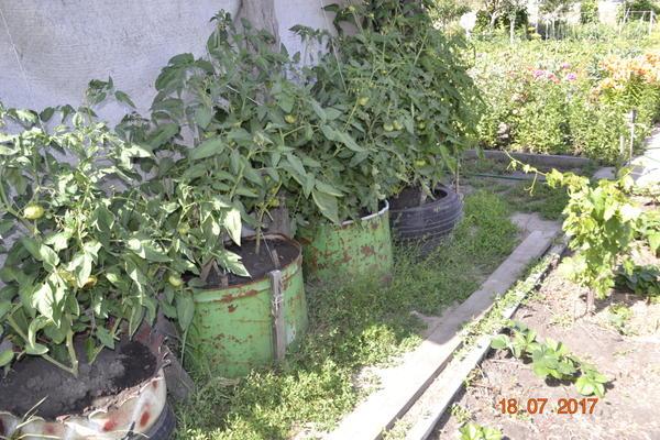 А вот эти помидоры поливаю через два дня,потому-что солнечная сторона и жесть и баллоны сильно нагреваются,и листья начинают вянуть,а после полива сразу оживают.