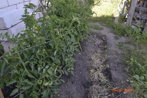 Вот эти помидоры растут на солнечной стороне,поливал по бороздке через 3-4 дня и тоже спелые плоды начали трескаться,из-за избытка воды.