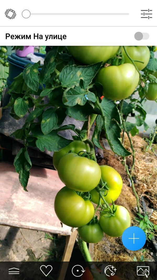 А это Партнер Семко.Компактное растение с крупными красивыми плодаии.У него первая кимть уже созрела.
