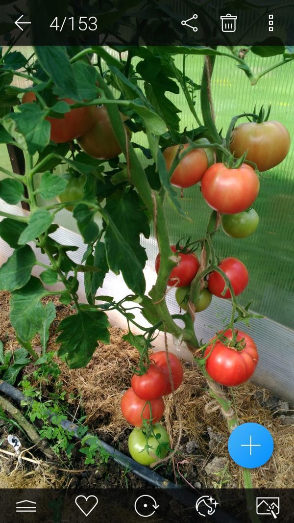Всем здравствуйте!Хочу показать вам томат Бокеле.Несколько спелых плодов я уже сняла.Начал созревать чуть позже Любаши,но пораньше Великосветского.