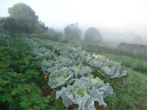 Грядки с моей капустой туманным утром