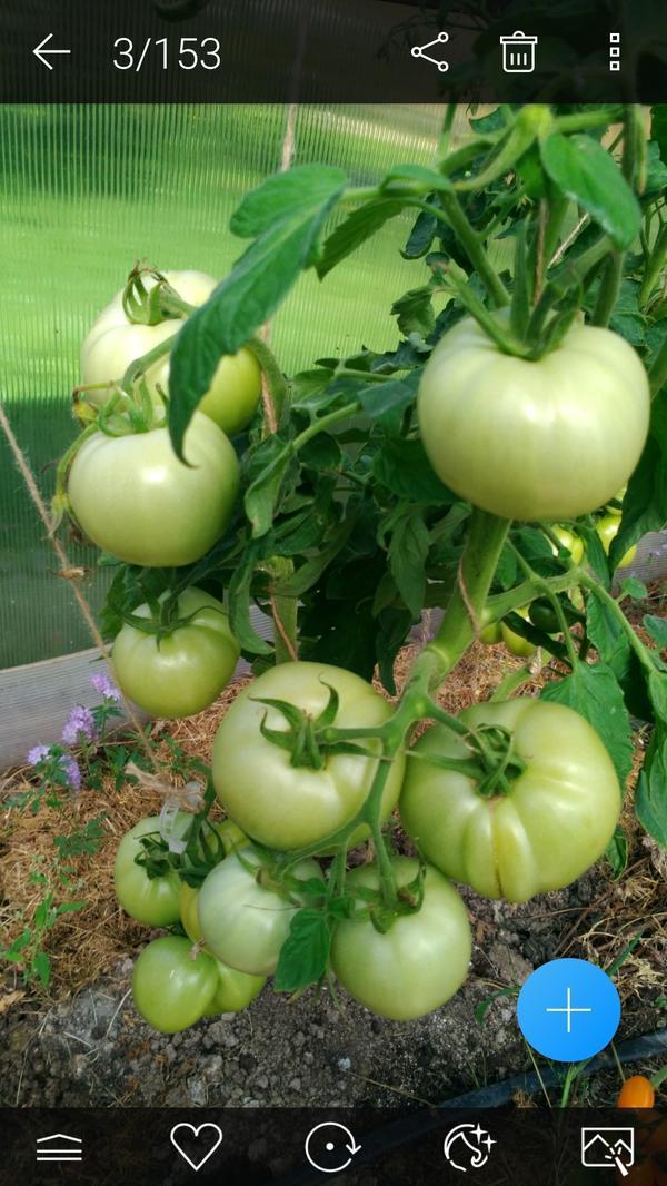 А это Диадема.На ней еще нет спелых плодов,но все равно она красавица.Есть еще одно растение,но оно начало цвести позже этого.Правда, плодов там побольше.