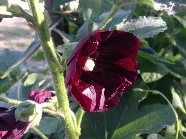 На солнце-бордовая, без солнца-черная, цветет сейчас.., только начинает цвести...