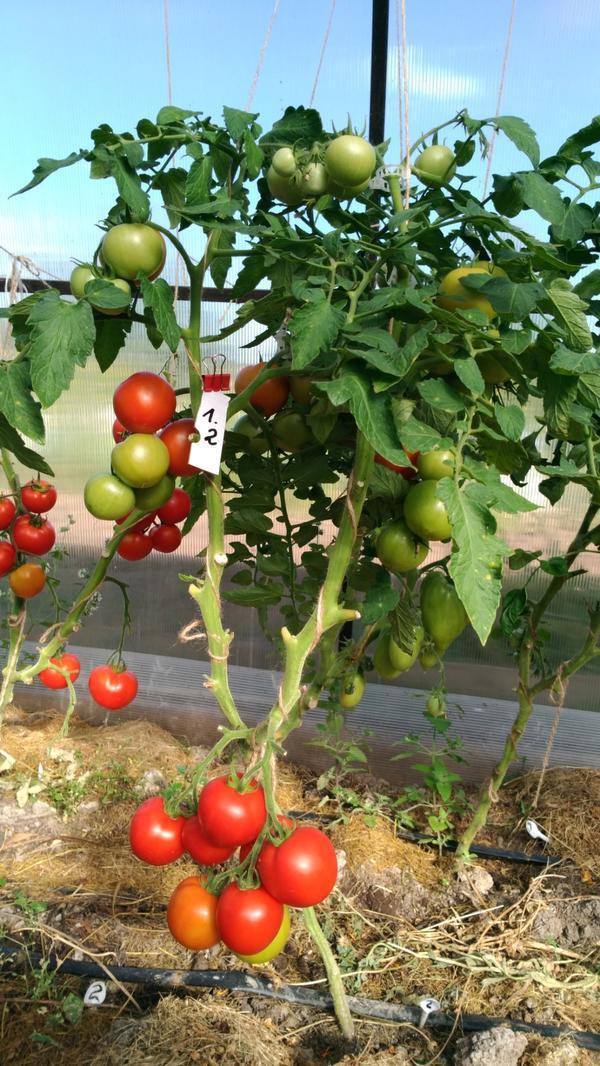 Всем здравствуйте!Сегодня 6 августа.Погода продолжает радовать,а помидорчики зреют.Решила снять Любаши N2 шесть красных плодов.Я в августе не прекращаю полностью поливы, только поливаю реже,после каждого сбора урожая включаю капельный полив.Считаю,что для роста оставшихся томатов вода нужна,но не подкормливаю.Последнюю подкормку делала золой в конце июля.