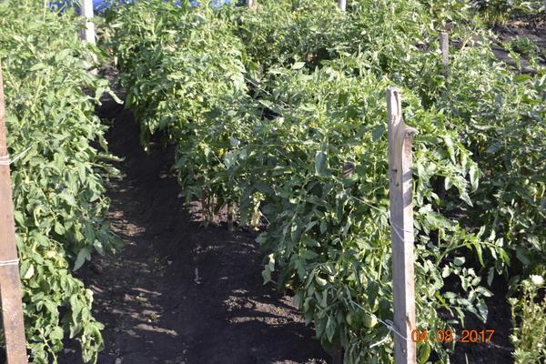Вот мои помидоры,растут и плодоносят.