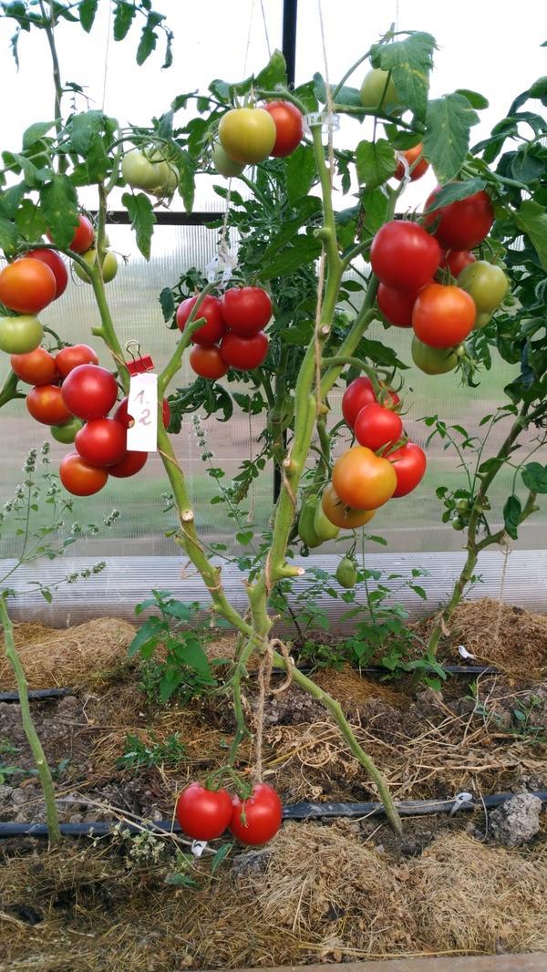 Всем здравствуйте.Настал черед третьего взвешивания с Любаши N2.Сняла с нее 14 зрелых томатов и на весы.