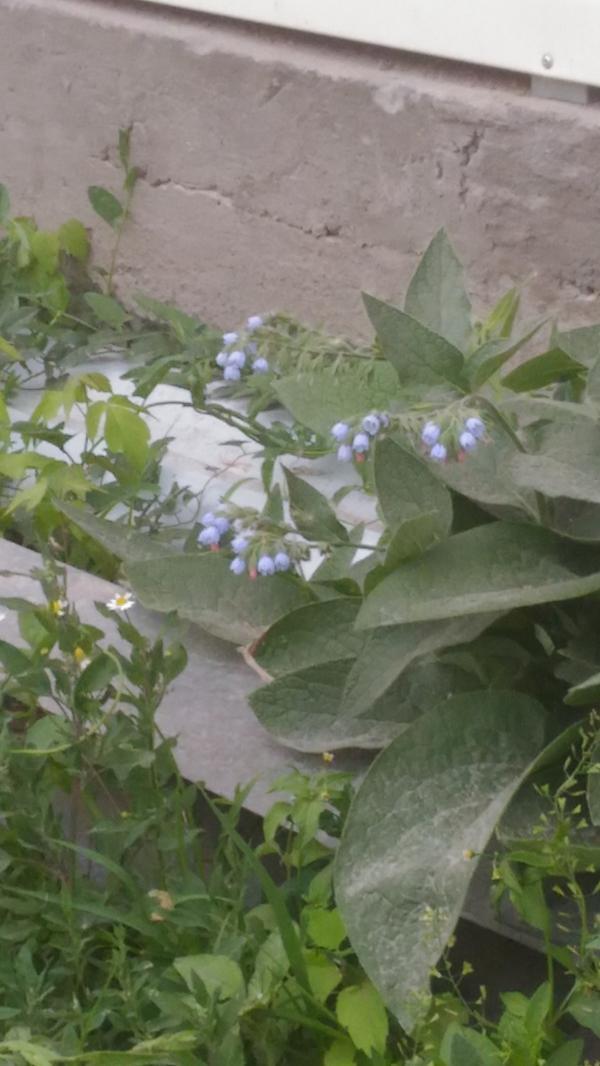 Подскажите,что это? Вырастает каждый год возле дома,начинает расползаться..выкапываем,вырываем,всё бестолку..но пчелки его очень любят..стараются залететь в каждый колокольчик. Листья вырастают большие,бархатистые..и высота метр-полтора..