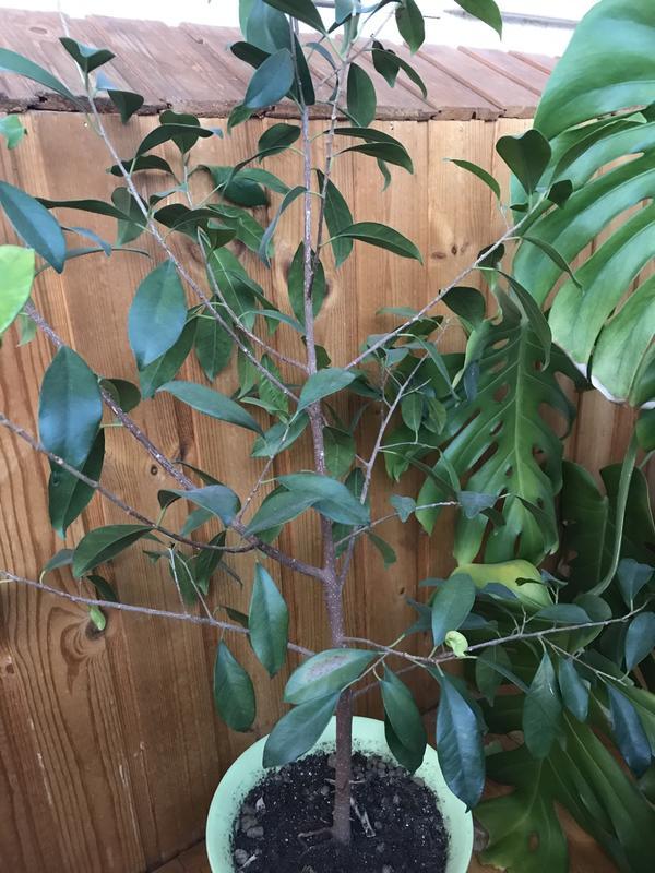 Подскажите, пожалуйста, что это за растение? Оторвала три листика в офисе, было дерево метра 2 в высоту, похож на лавровый лист, не могу нигде найти