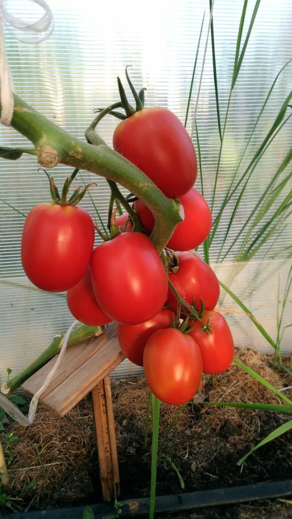 Эта кисть по порядку на этом растении вторая, но первую и третью я уже срезала, а на этой дозревали два последних помидорчика.