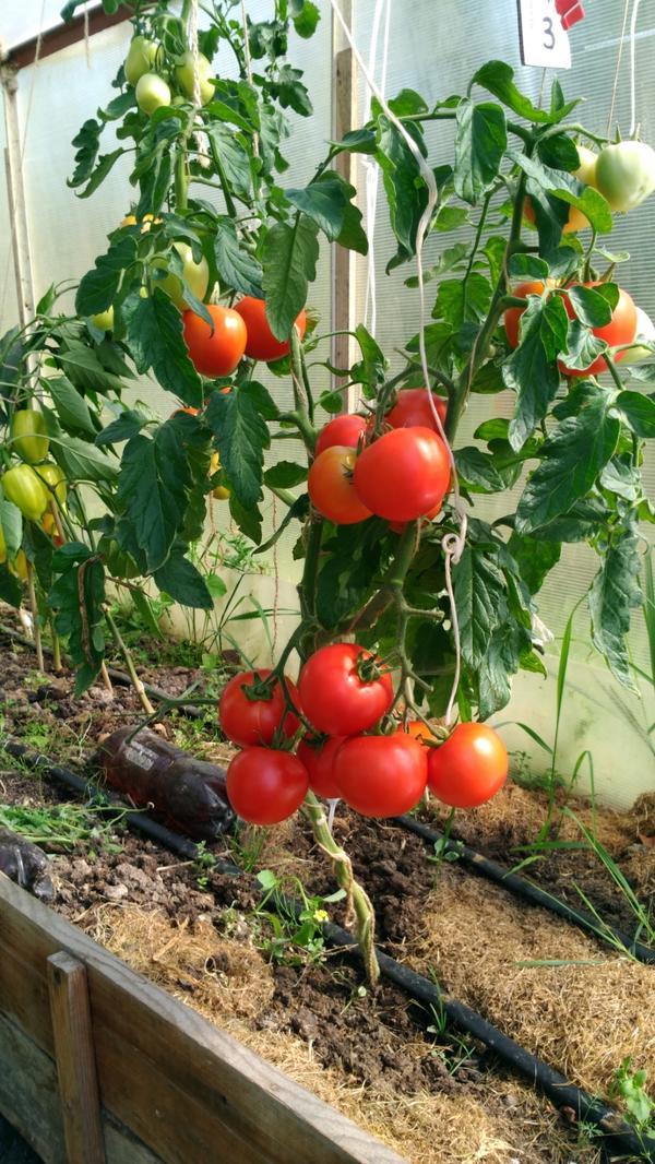 Всем здравствуйте! Вчера провела третий сбор спелых томатов с Любаши N3.
