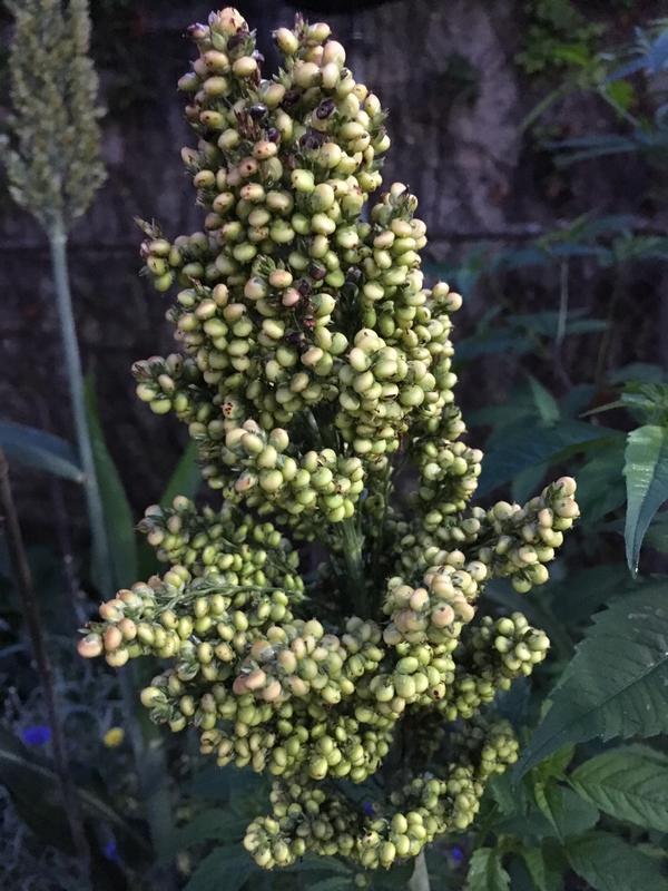 Само растение похоже на кукурузу