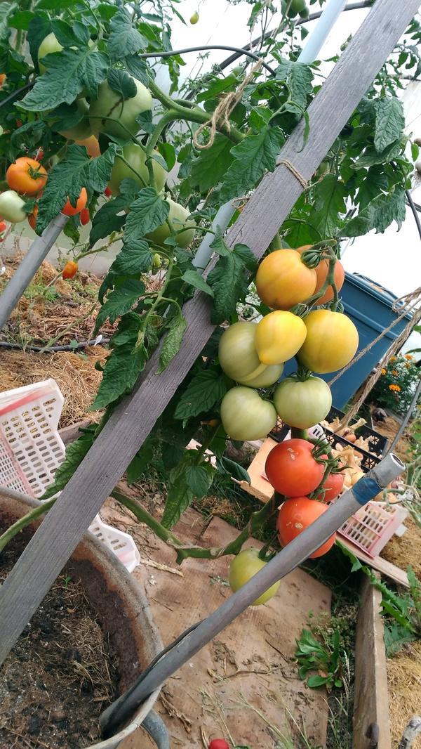 А это моя Малиновая империя в бочке.Созрела вторая кисть почти полностью.Я сниму только спелые томаты.На этом растении четвертая кисть сложная, надеюсь, что в теплице она созреет. Всем пока!