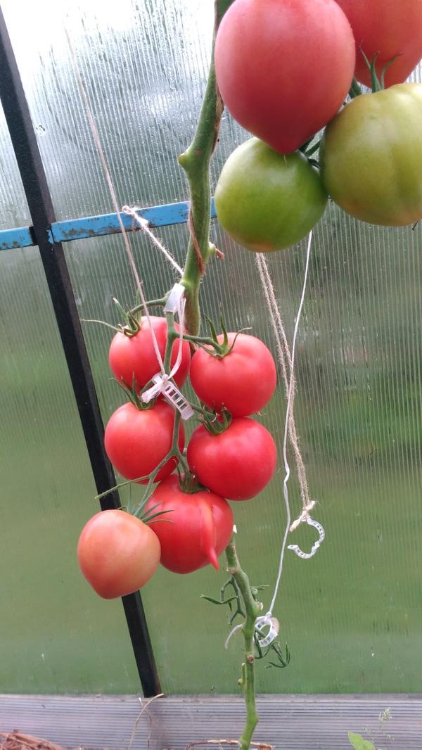 Всем здравствуйте!Сегодня 26 августа.Вчера срезала кисть на Малиновой империи. На этом растении это уже вторая кисть, первая весила 1114г, в ней было 7 плодов. В этой кисти 6 плодов и она на 100 г. меньше.