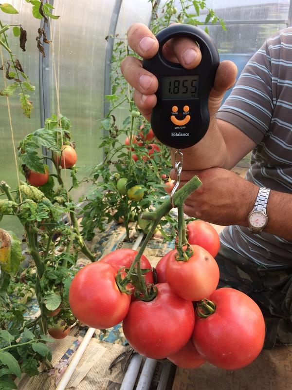 помидоры Яркая Малиновка весом 1855грамм