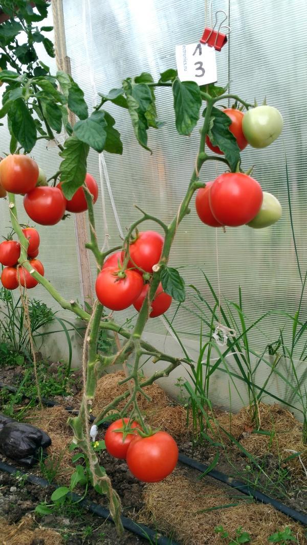 Всем здравствуйте.Сегодня 27 августа. Пришло время подвести итог по урожаю с Любаши N3. Вот что на ней осталось, сниму, как всегда, только спелые томаты.